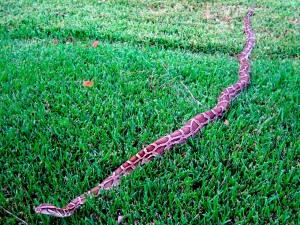 000 burmese python in florida