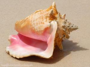 FL nature queen conch