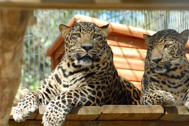 floridatraveler EARS leopards