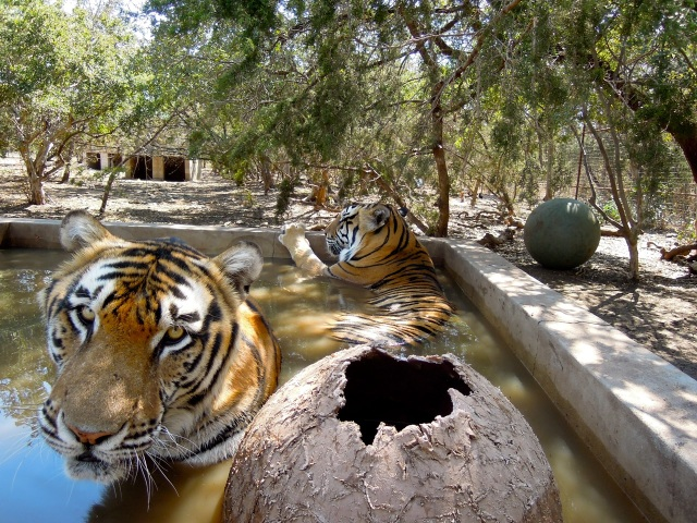 flroidatravelerBIG CAT tigers
