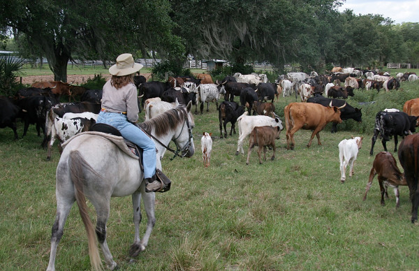 floridatraveler herding cows