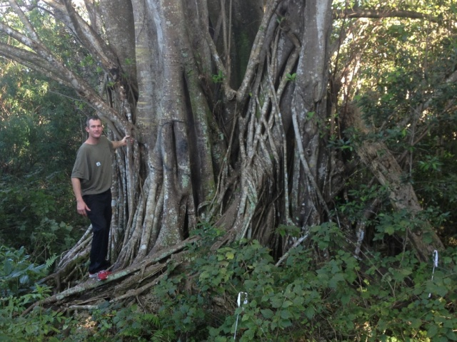 floridatraveler strangler tree