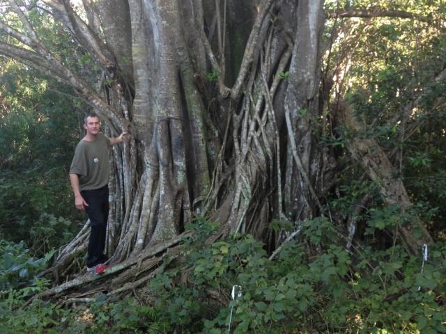 floridatraveler strangler tree