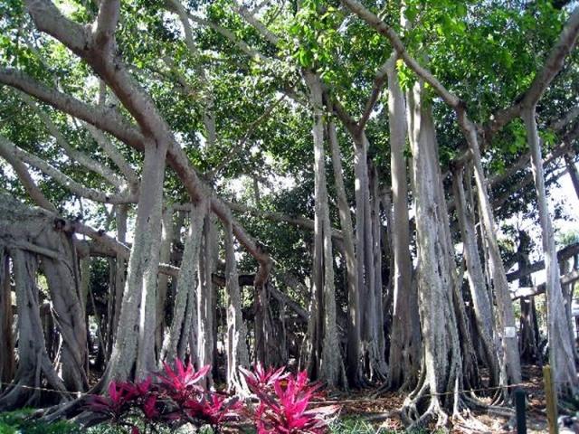 floridatravelere EDISON BANYAN TREE