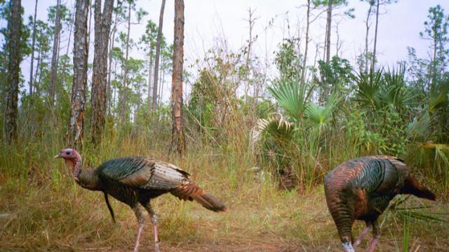 floridatraveler-fl-wild-turkeys