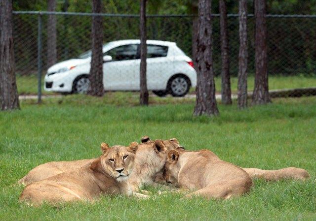 092412 met lion 3