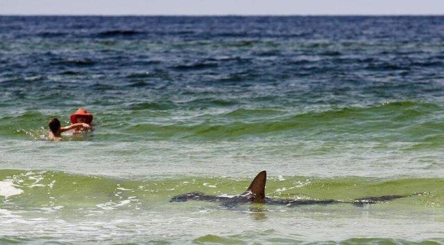 FLORIDATRAVELER SHARK IN FLORIDA WATERS