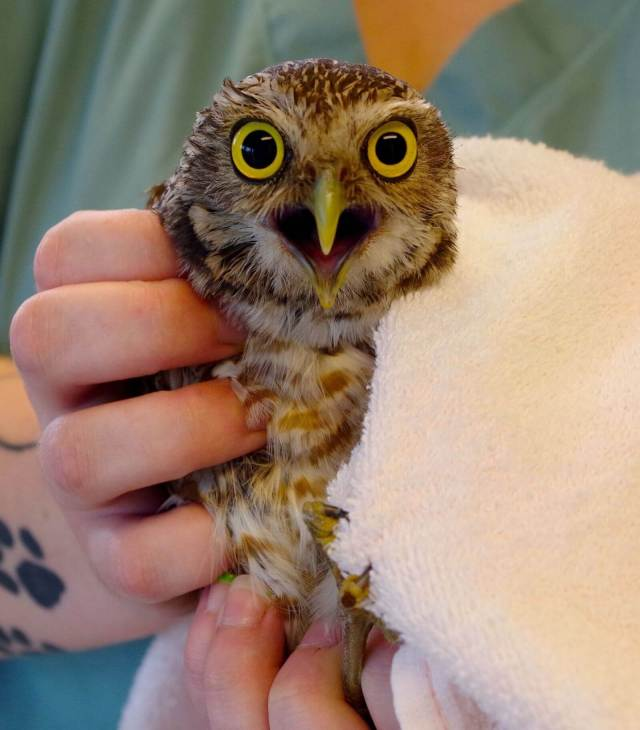floridatraveler -owl-in-rehab-at-CROW-hospital-on-Sanibel-Island-FL